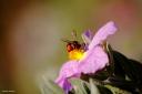 Red Pollen Bee